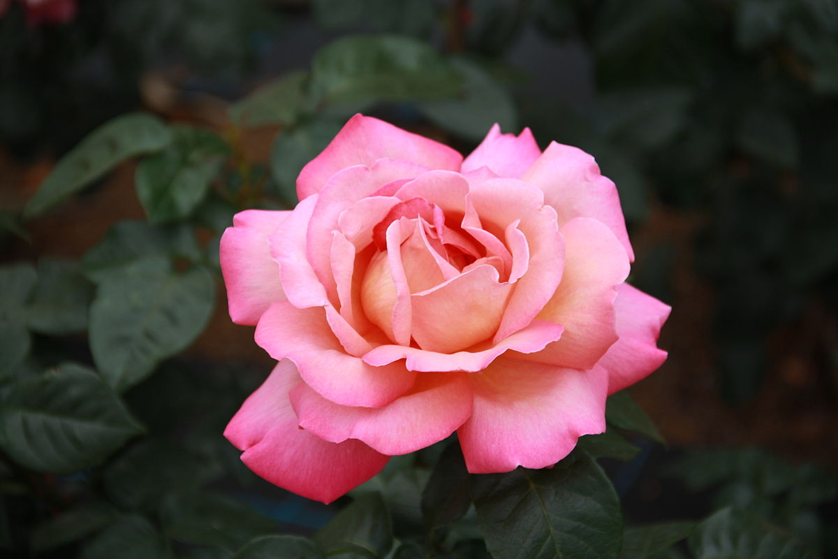 گل رز (آهنگ زمین) Rosa Earth Song