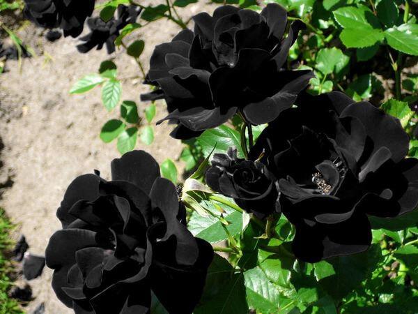 گل رز باراکا سیاه