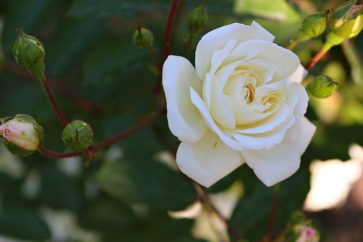 گل رز Rosa Maria Shriver