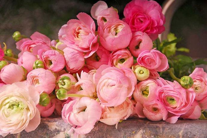 عکس گل آلاله ایرانی