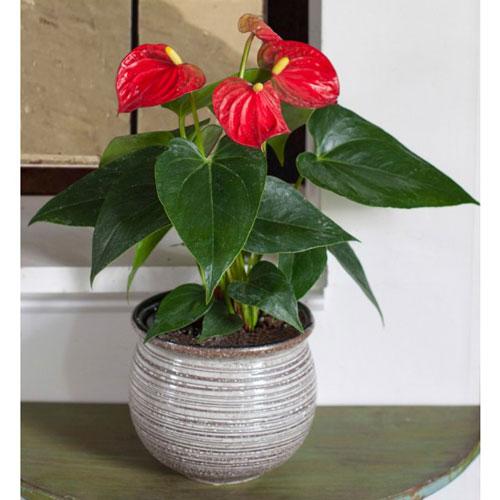 گلدان گل آنتوریوم