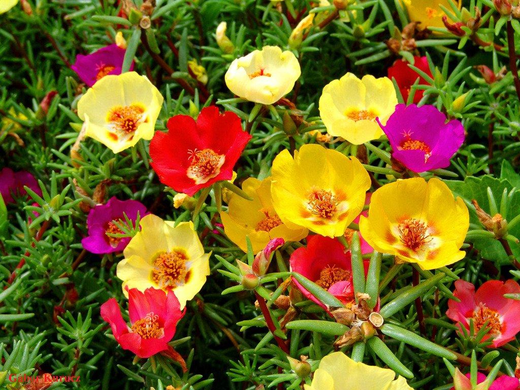 گل Portulaca grandiflora
