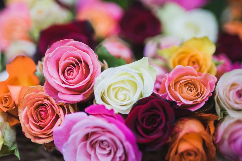 گل رز اسطوخودوس