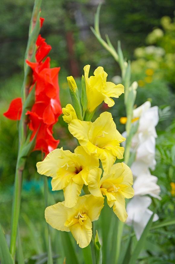 گل گلایل سنگی زرد