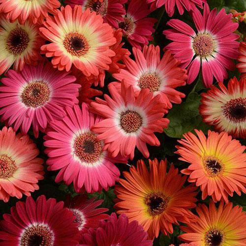 بهترین نوع گل ژربرا