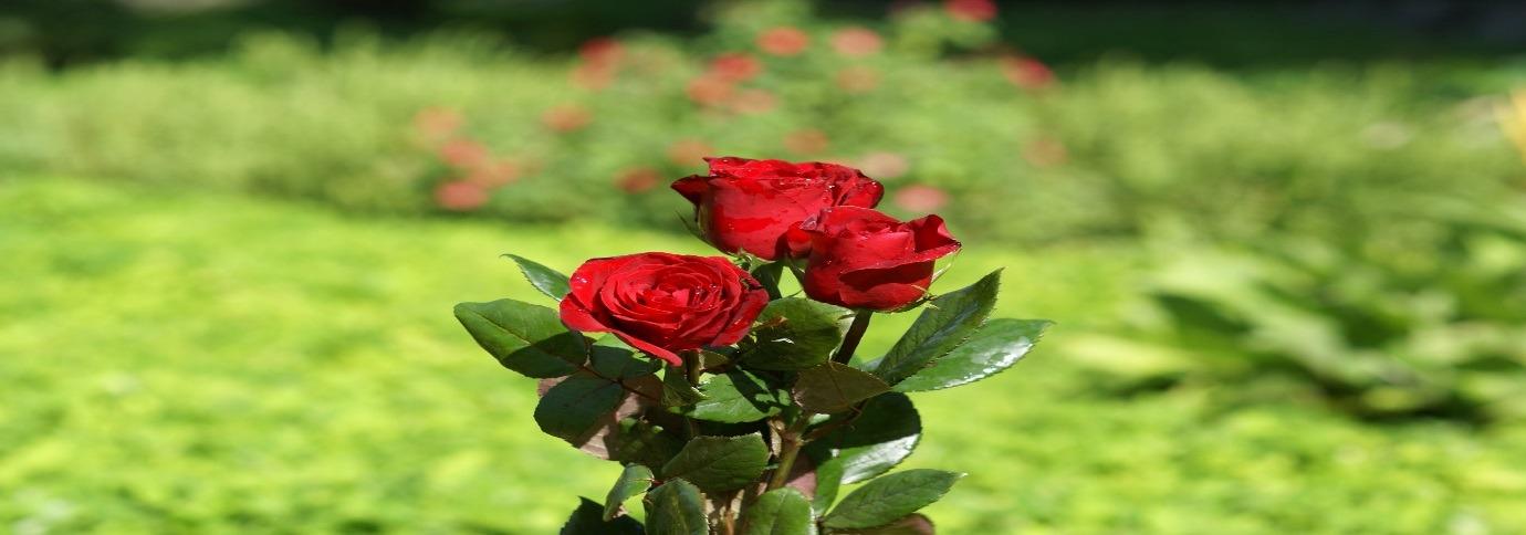 گل رز زرشکی (Crimson Bouquet)