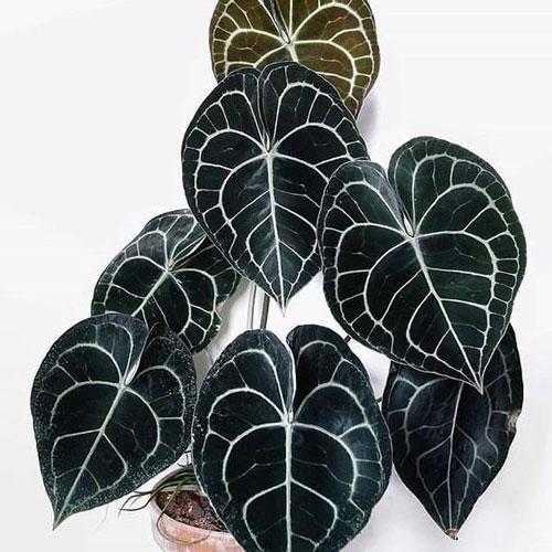 گل آنتوریوم Anthurium Clarinervium