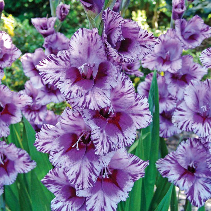 گل گلایل پاسوس