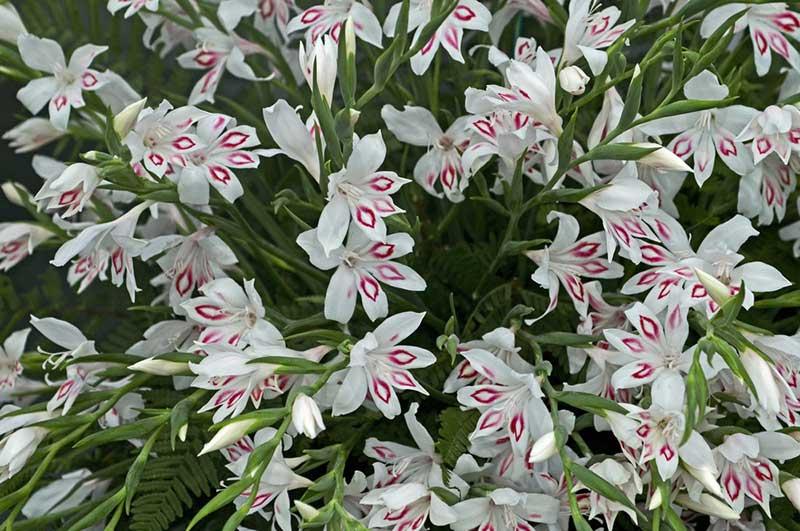 گل گلایل ایمپرسیو