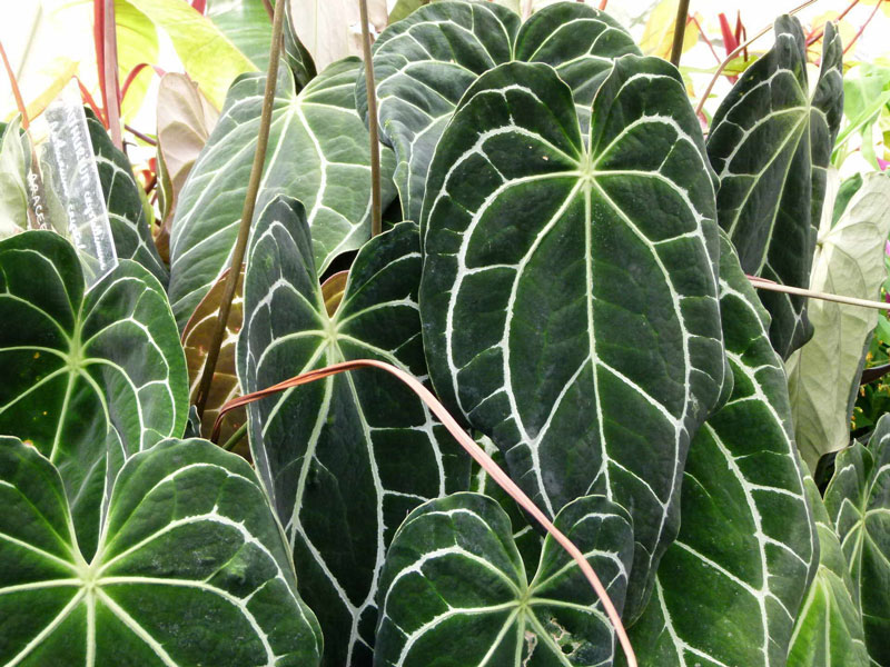 آنتوریوم آس پیک (Anthurium Crystallinum)