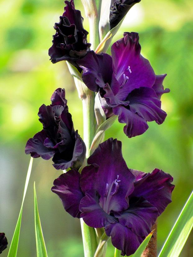 گل گلایل فلورا