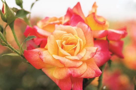 گل سرخ (Montezuma)