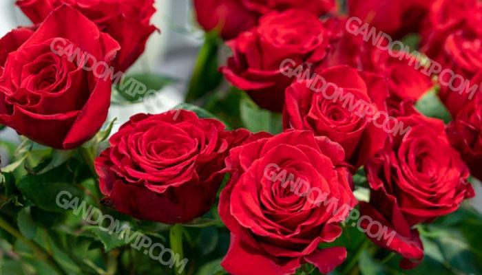 بهترین نوع گل رز