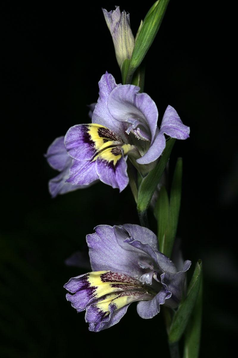 گل گلایل کارین