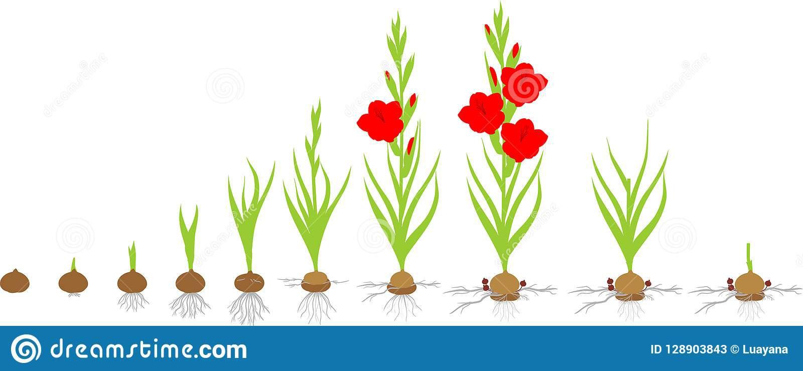 پرورش گل گلایل