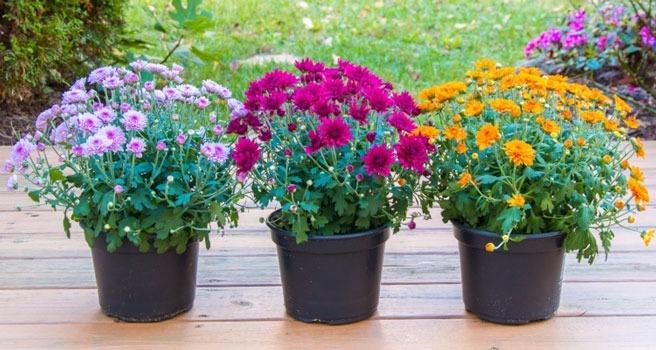 پرورش کرزنتیا در گلدان نیز صورت می گیرد