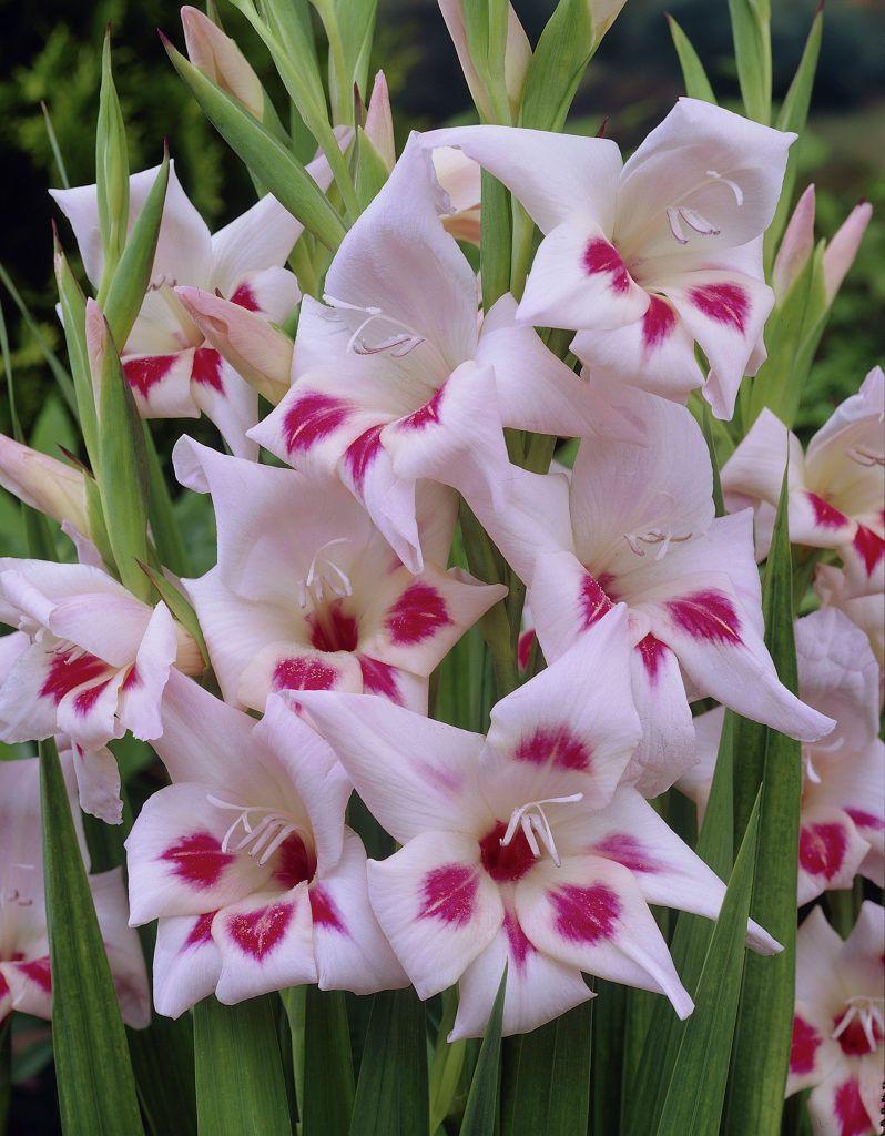 گل گلایل الویرا
