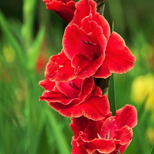 گل گلایل اتم