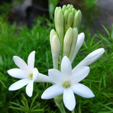 گل مریم سفید