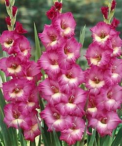 گل گلایل آواز باد