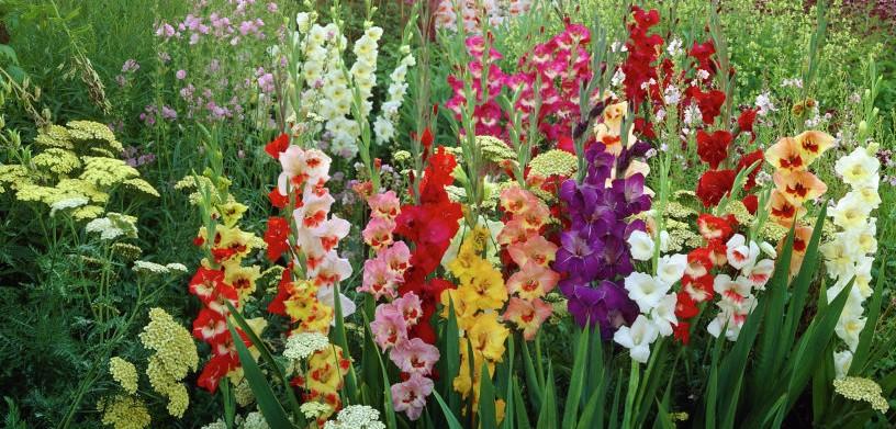 انواع گل گلایل