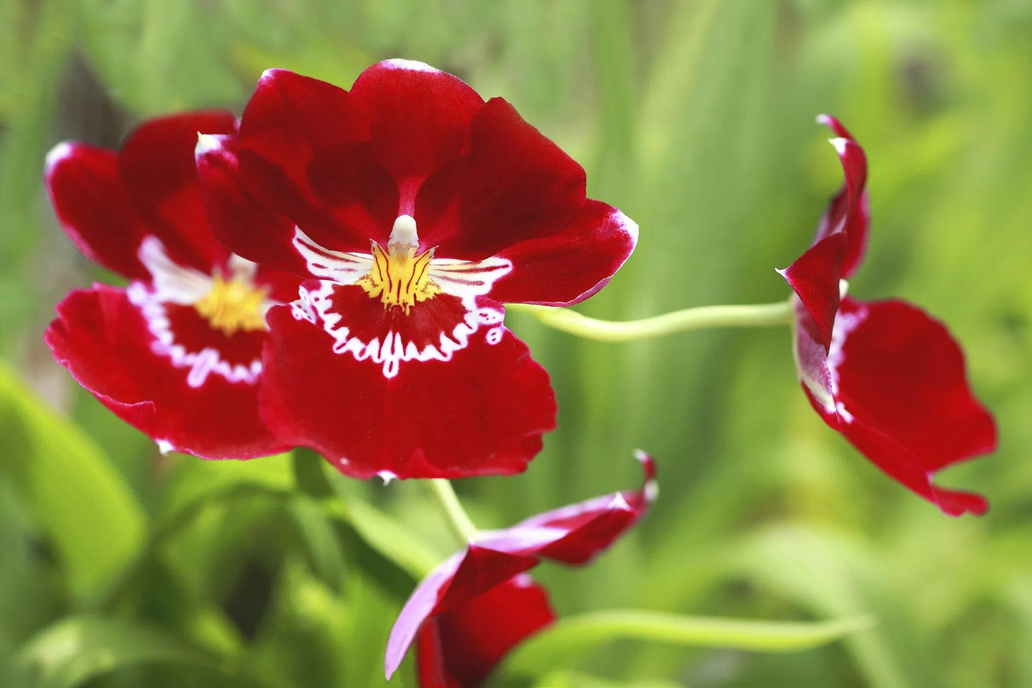 گل ارکیده Miltonia