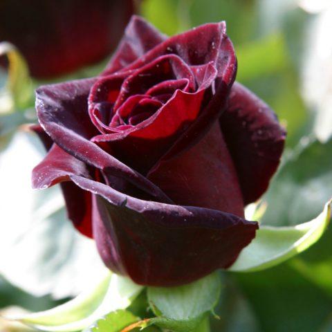 نکاتی برای پرورش گل رز سیاه
