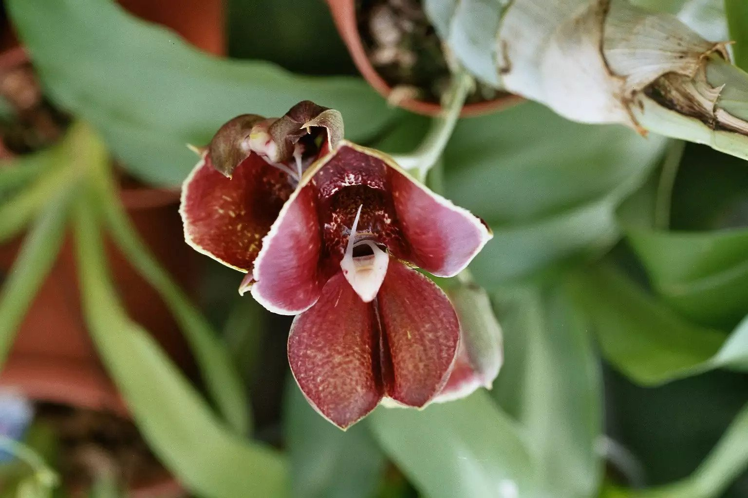 گل ارکیده Catasetum Orchid