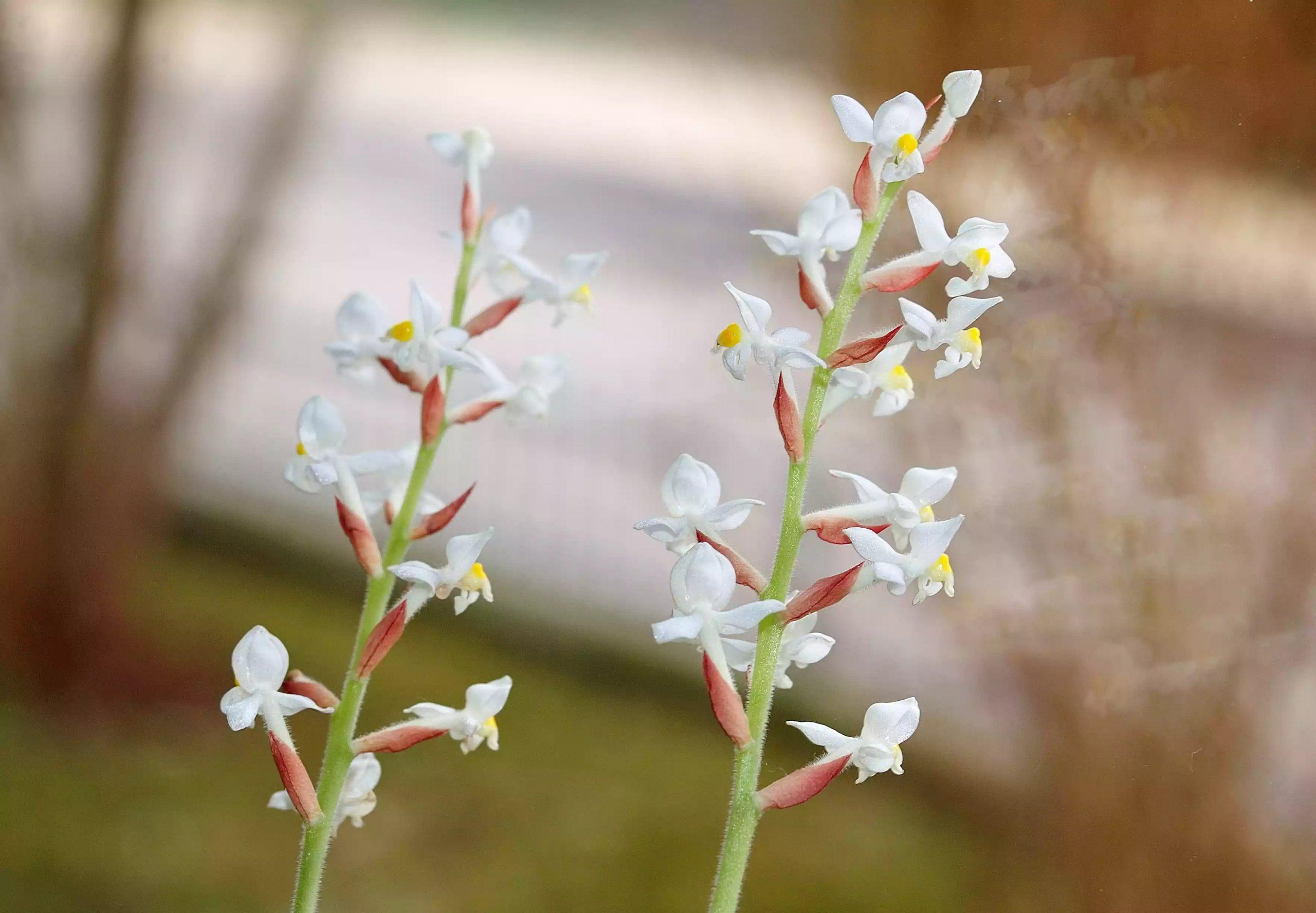 گل ارکیده Ludisia