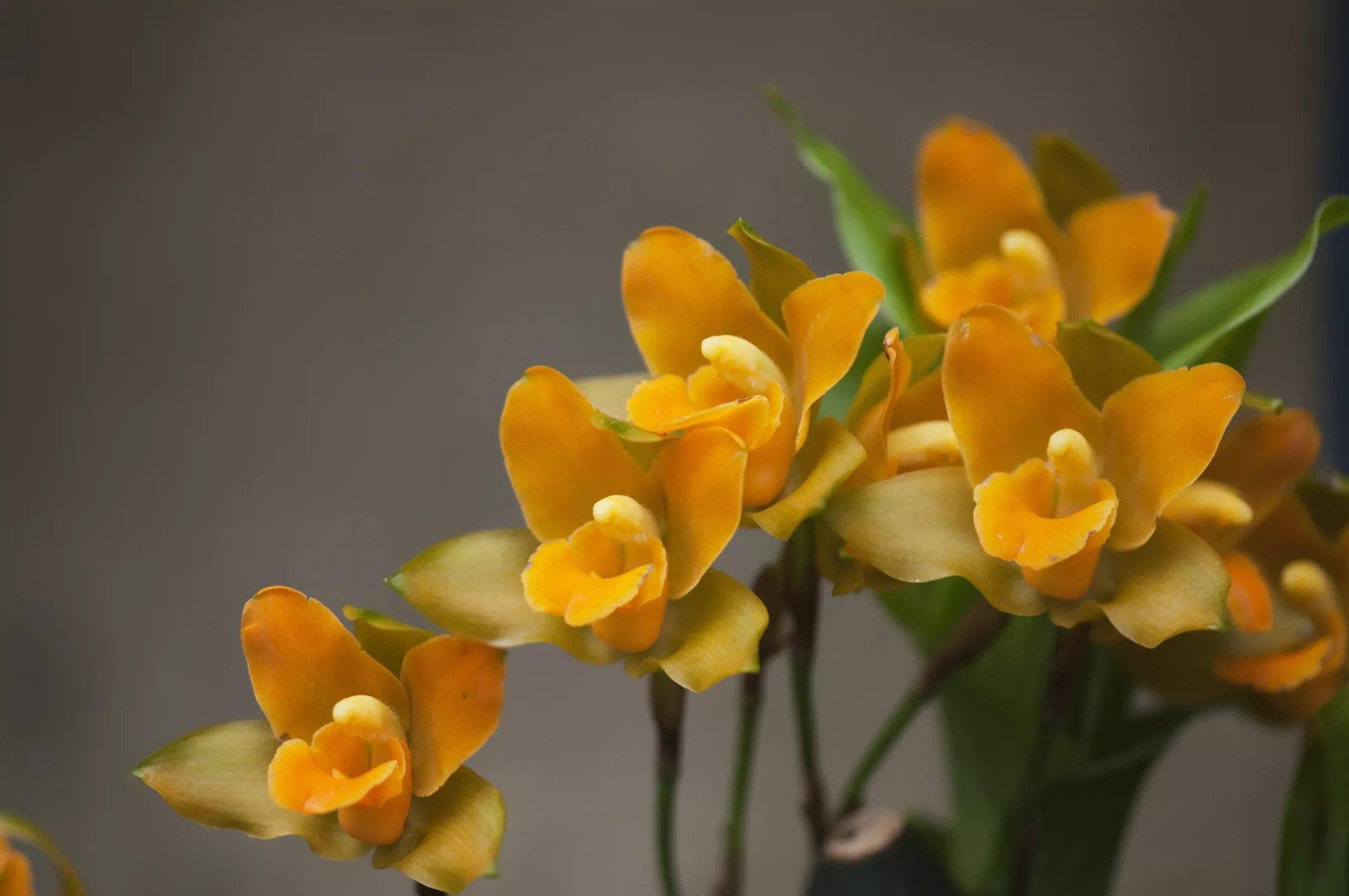 گل ارکیده Lycaste