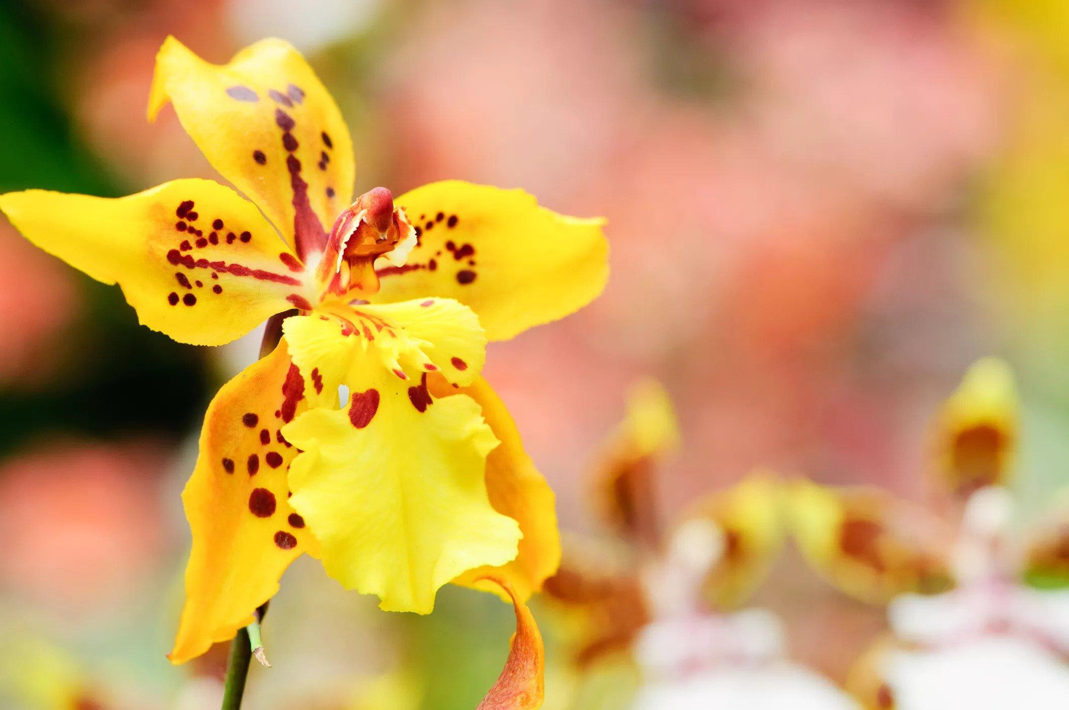 گل ارکیده Oncidium Orchids