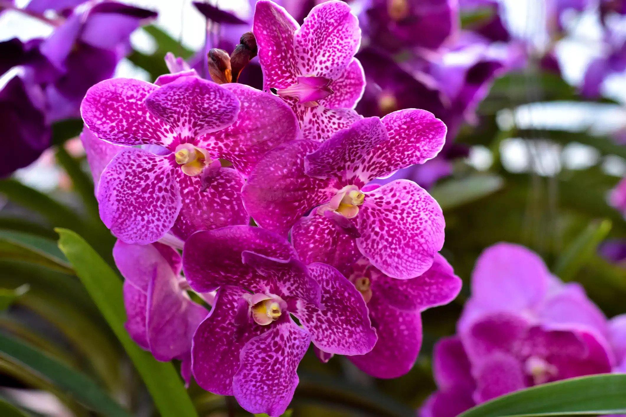 گل ارکیده Vanda Orchids