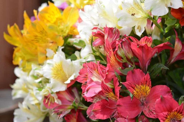گل آلستر | ترکیب رنگ های گل آلستر