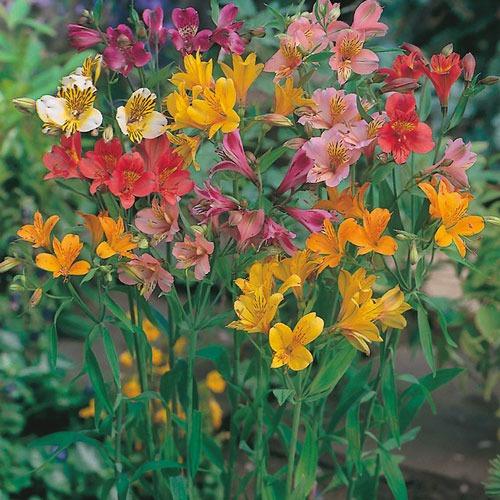 گل آلستر | آلستر لایتو