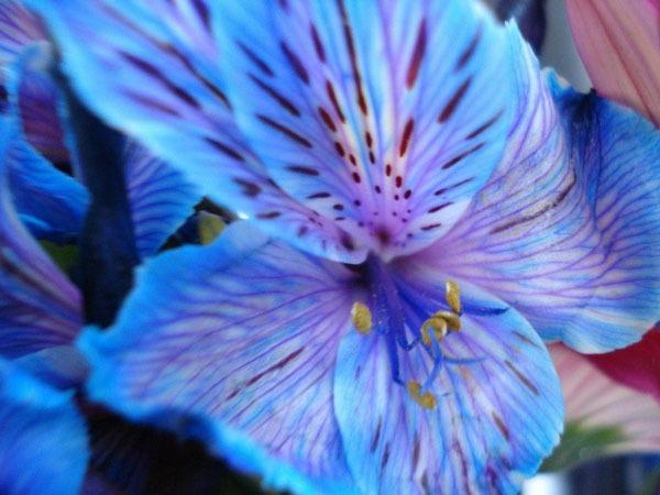 گل آلستر| آلستر بهشت آبی