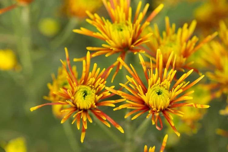 گل داوودی تیغی شکل