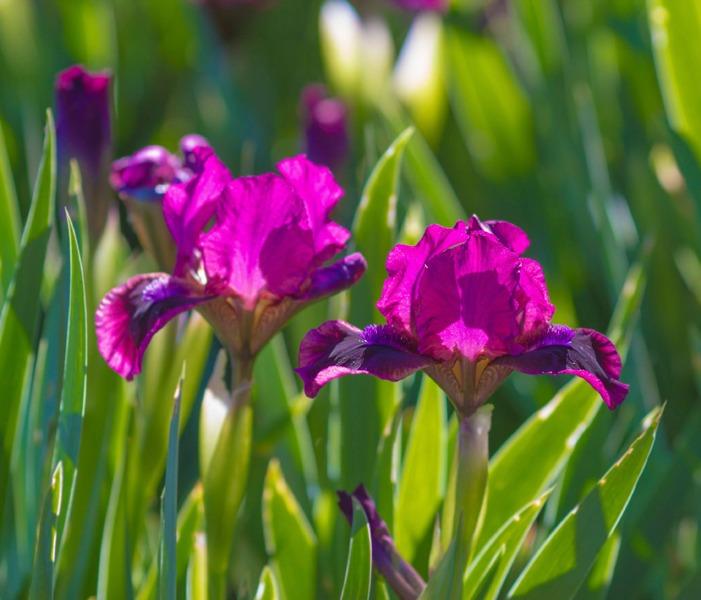 گل زنبق