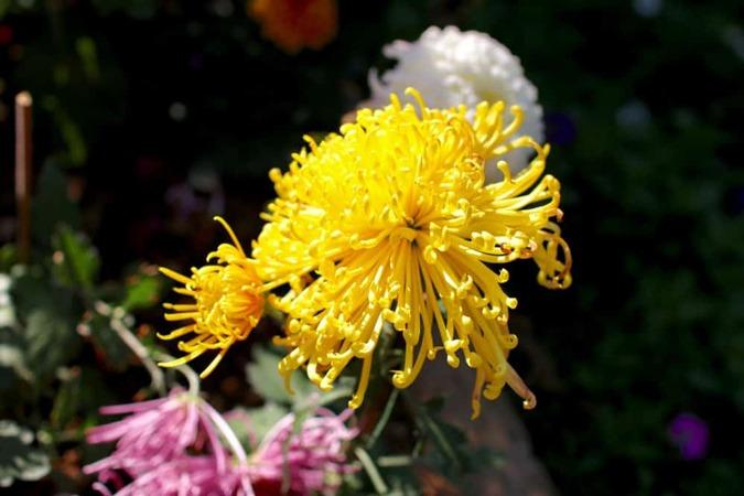 گل داوودی عنکبوتی