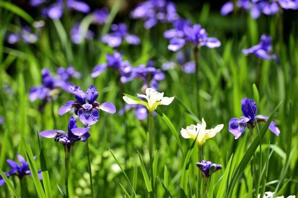 گل زنبق | تکثیر گل زنبق