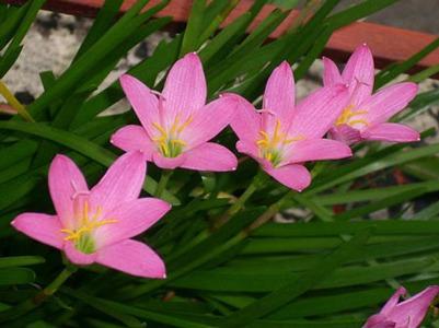 گل سوسن فنجانی