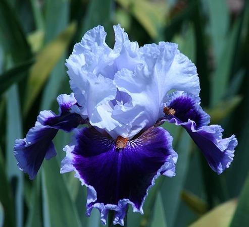 گل زنبق | زنبق ریش دار