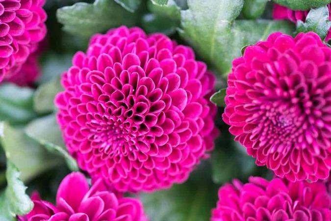 گل داوودی پامپون