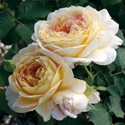 گل رز هلندی گلدیفلورا Grandiflora