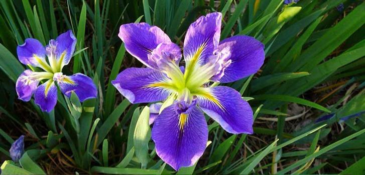 گل زنبق | زنبق تاج دار