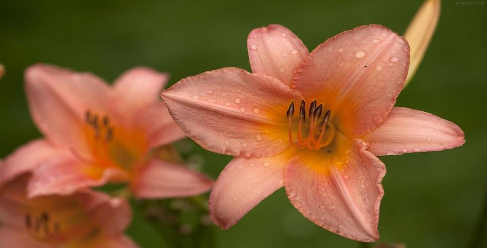زمان شکوفایی گل سوسن