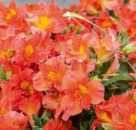 گل آلستر | شاهزاده آمینا
