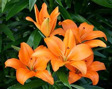 گل سوسن باران