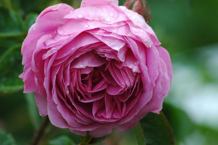 گل رز هلندی Centifolia