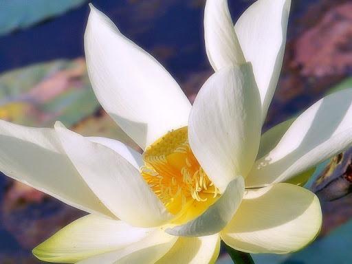 گل سوسن | آبیاری مناسب برای رشد گل سوسن