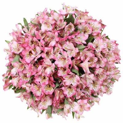 گل آلستر